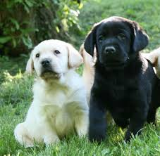 yellow lab puppies for sale. Contemporary Yellow Dolce2115 Healthy Yellow And Chocolate Labrador Retriever Puppies From  Hidden Pond Labradors Femaleblack002 In Lab For Sale T