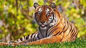 Beautiful Background Tiger Wallpaper Hd ...