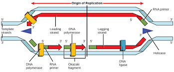 Dna Replication Definition 9 2 Dna Replication Concepts Of Biology 1st Canadian Edition