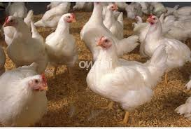 live chicken for sale. Brilliant Live Live Chickens For Sale Throughout Chicken
