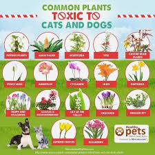 34 best poisonous plants for dogs images on poisonous