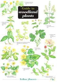 Herb Plant Identification Chart Guide To Woodland Plants Identification Chart By Gulliver