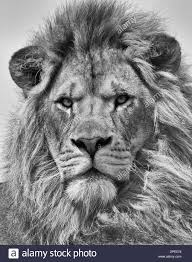lion portrait black and white. Contemporary Black Portrait Of Male Lion In Black And White  Stock Image On And A