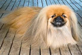Pekingese Growth Chart Pekingese Dog Breed Information Pictures Characteristics