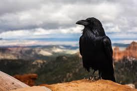 Cuervos, aves de una inteligencia muy sorprendente