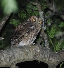 Long Tufted Screech Owl Wikipedia