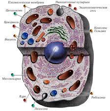 организма Клетки организма