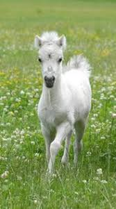 baby white horse. Simple Baby Horse  What A Sweet Wee One Miniature Horse Filly Via Mini HorsesCute  Baby HorsesWhite  Intended White S