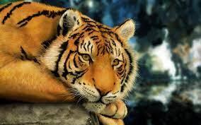 Amur Tiger Desktop Hd Wallpaper ...