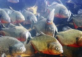 amazon river piranha. Interesting Amazon 3RedBellied Piranhas Inside Amazon River Piranha O