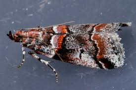 Tricolored acrobasis moth