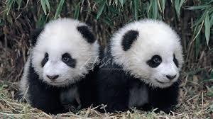 funny panda cute and funniest panda videos pilation 2017