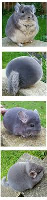 Chinchilla Cute Pets and Lovely Animals Pinterest Circles.
