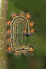 Black Caterpillar Identification Chart North American Caterpillar Identification Owlcation