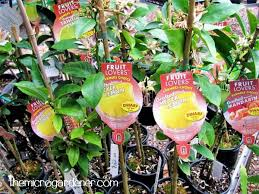 grafted dwarf fruit tree varieties in pots suitable for small gardens