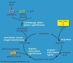 articles related to biochemistry gluconeogenesis biochemistry com  gluconeogenesis biochemistry com enzyme defects in urea cycle disorders