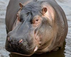 Image result for hippopotamus