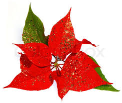 Red Poinsettia christmas flower with golden decoration   Stock Photo    Colourbox
