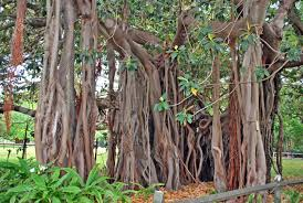 Ball's pyramid, lord howe island, photography, interpretive expeditions & guided snorkelling tours are our specialty. Ficus Macrophylla F Columnaris Family Moraceae Restricted Stock Photo Picture And Royalty Free Image Image 87157688