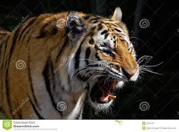 tiger roar side view. Plain Roar Roaring Tiger Inside Roar Side View I