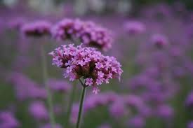 verbena is a beautiful plant that produces small purple blooms all summer long the flowers are traditionally used in fl arrangements this flower is