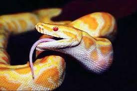 Змеи родственники ящуров строение черепа добыча зубы жертва  Змеи родственники древних ящуров
