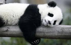 Kết quả hình ảnh cho panda mignon