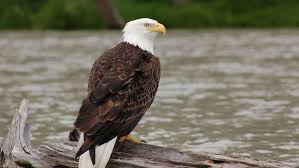 I have an opinion i want to. Farm Pesticide May Be Behind Maryland Bald Eagle Deaths Wtop