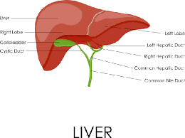 Liver Anatomy Human Liver Anatomy Plants And Animals Pbs Learningmedia