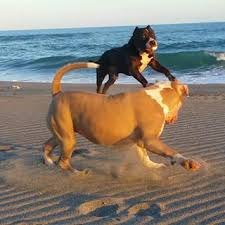 Resultado de imagen para 犬 pitbull トリック