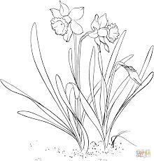 Coloriage Narcissus Pseudonarcissus Ou Narcisse Trompette