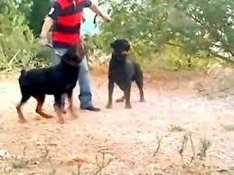 rottweiler dog attacks. rottweiler attack video dog attacks