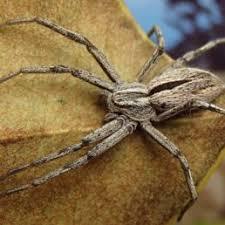 Spiders In Kentucky Species Pictures