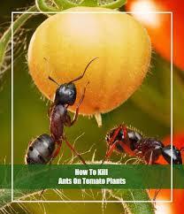 to kill ants on tomato plants