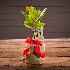 Traditional Christmas Flowers And Plants  Flowers 24 Hours London UKChristmas Gift Plants