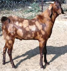 Goat Weight Chart Sirohi Goat Breed Profile Information Guide Goat Farming