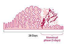 Menstrual Cycle Wikipedia