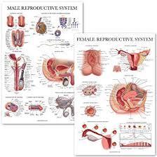 Female Reproductive Chart