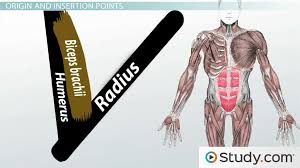  look at the diagram on the following slide to see how many you have written down. What Is The Muscular System Function How Muscles Work In Groups Video Lesson Transcript Study Com