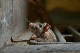 Rats come out of hiding as coronavirus lockdowns eliminate urban trash