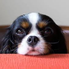 tricolor cavalier king charles spaniel puppies. Tricolor Cavalier King Charles Spaniel In Puppies