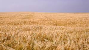 dry grass field background. Wheat Field On A Background Of Blue Sky. - HD Stock Footage Clip Dry Grass D