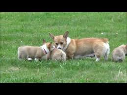 corgi puppy playing. Beautiful Puppy Corgi Puppies Playing With Mom In Puppy Playing J