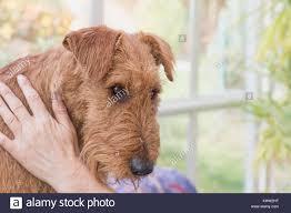 Head Irish Terrier Stock Photos Head Irish Terrier Stock
