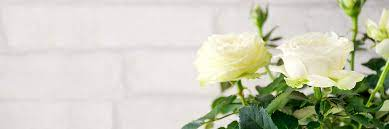 rose care guide growing tips and info