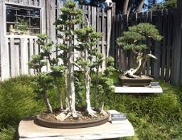 bonsai gardens. two bonsai trees gardens