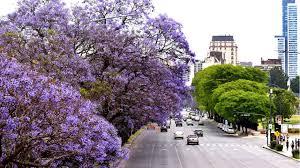 El florecimiento de los jacarandás tiñó la Ciudad de violeta en noviembre    Perfil