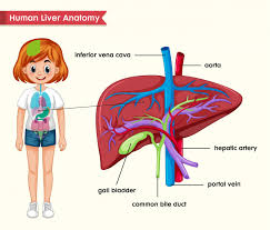 Liver Anatomy Scientific Medical Of Liver Anatomy Vector Free Download