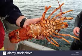 Female rock lobster with eggs Tasmania ...