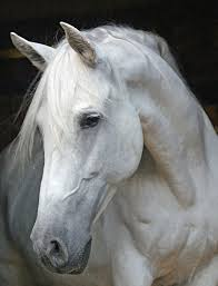 white horse face side. Simple Face White Horse Head Side View  Photo17 And Horse Face Side